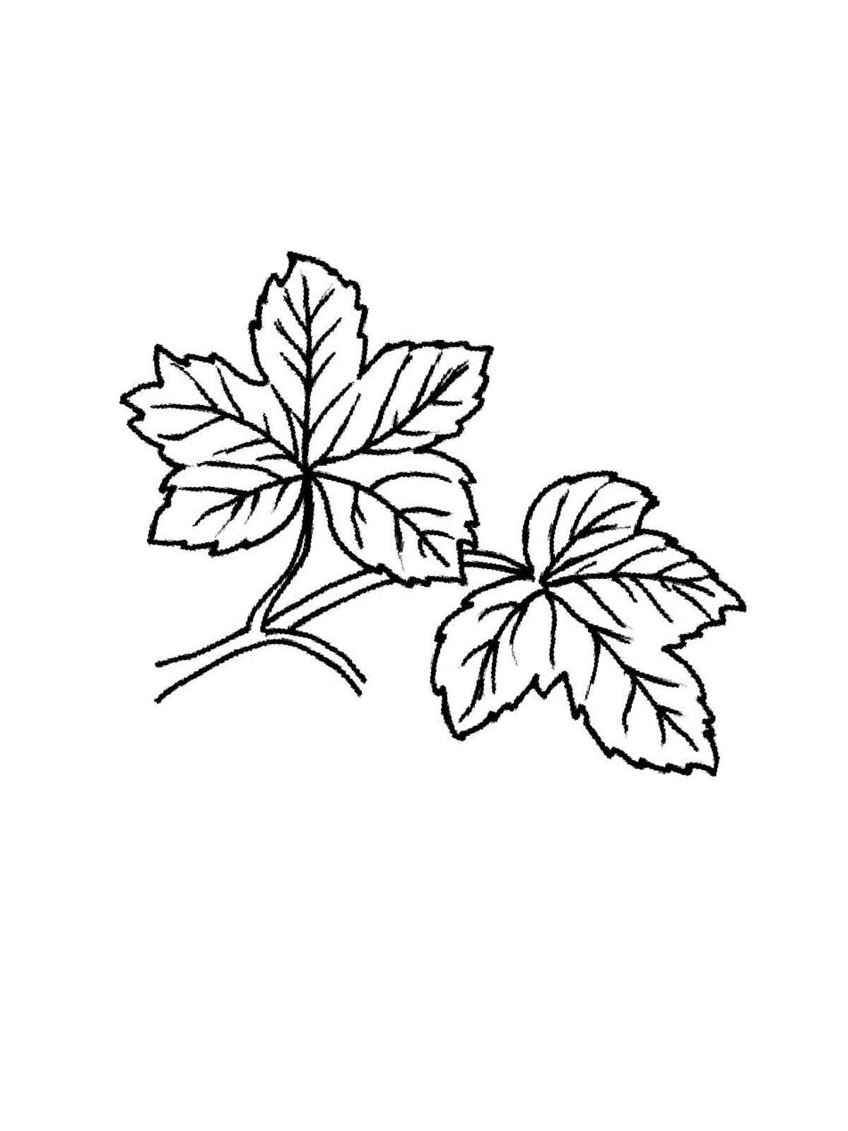 ausmalbilder, malvorlagen von ahornblatt kostenlos zum