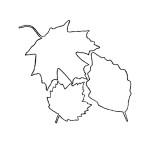Ahornblatt 20