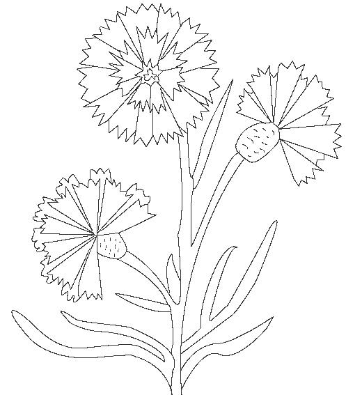 ausmalbilder malvorlagen  kornblume kostenlos zum