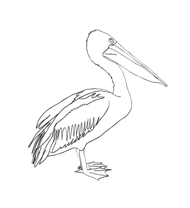 ausmalbilder malvorlagen  pelikan kostenlos zum