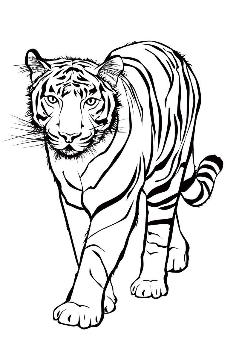 ausmalbilder tiere tigers tiger ausdrucken  ausmalbilder